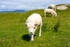 Sheep in the fields of Iona in the Inner Hebrides, Scotland Sheep in the fields of Iona in the Inner Hebrides, Scotland. Iona is a small island in the Inner stock photography