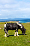 A horse in the Inner Hebrides, Scotland, UK. Iona is a small island in the Inner Hebrides off the Ross of Mull on the western coast of Scotland royalty free stock photo