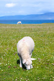 Sheep in the fields of Iona in the Inner Hebrides, Scotland, UK. Iona is a small island in the Inner Hebrides off the Ross of Mull on the western coast of stock images