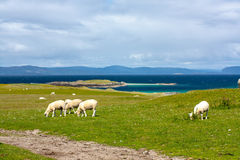 Sheep in the fields of Iona in the Inner Hebrides, Scotland Sheep in the fields of Iona in the Inner Hebrides, Scotland. Iona is a small island in the Inner stock images