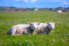 Sheep in the fields of Iona in the Inner Hebrides, Scotland Stock Image