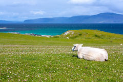 Sheep in the fields of Iona in the Inner Hebrides, Scotland. Iona is a small island in the Inner Hebrides off the Ross of Mull on the western coast of Scotland stock photography