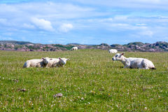 Sheep in the fields of Iona in the Inner Hebrides, Scotland. Iona is a small island in the Inner Hebrides off the Ross of Mull on the western coast of Scotland stock images