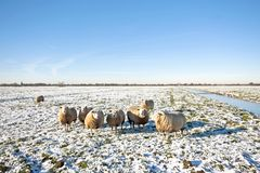 Sheep in the fields in the Netherlands Royalty Free Stock Images