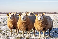 Sheep in the fields in the Netherlands Royalty Free Stock Photos