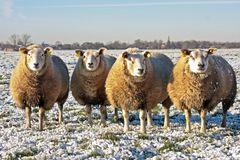 Sheep in the fields in the Netherlands Royalty Free Stock Photo