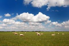 Sheep in flat landscape. Herd of sheep in Dutch flat landscape stock photo