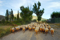 Sheep flock Stock Images