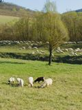Sheep flock Stock Photography
