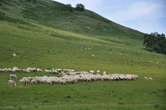 The sheep flock Royalty Free Stock Photo