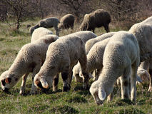 Sheep flock. With many sheeps Stock Image