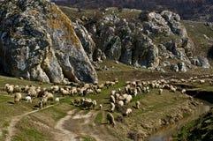 Sheep flock Stock Image