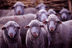 Sheep flock Royalty Free Stock Image