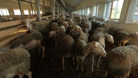 Sheep stock video footage