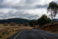 Sheep flock going to a new pasture blocking the road Royalty Free Stock Images