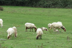 Sheep flock on the grass Stock Image