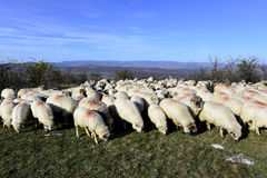 Sheep flock grazing around highlands in Stock Photos