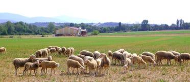 Sheep flock grazing meadow in grass field Stock Photo