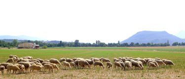 Sheep flock grazing meadow in grass field Stock Photography