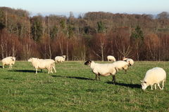 Sheep Flock Grazing Winter Evening Royalty Free Stock Images