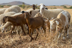 Sheep flock herd. In Maroc royalty free stock images