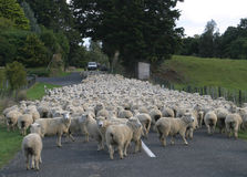 Sheep Flock Herd on road. Flock of sheep on road, New Zealand stock images