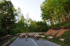 Sheep Flock Herd on road Royalty Free Stock Photos