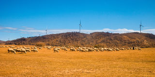 Sheep flock Royalty Free Stock Photo