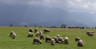 Sheep. Flock of sheep on a high plateau , in Romania mountains Royalty Free Stock Photos