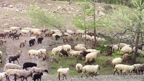 Sheep flock marching stock footage
