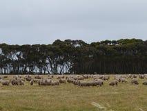 A sheep flock Stock Photos