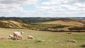Sheep flock in Mertola alentejo, portugal. Small sheep flock in a bucolic pristine landscape near Mértola, Alentejo, Portugal Royalty Free Stock Images