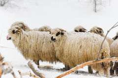 Sheep Flock Royalty Free Stock Images