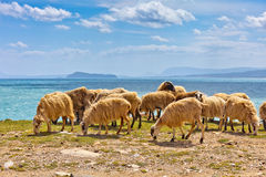 Sheep in a flock near the ocean Royalty Free Stock Images