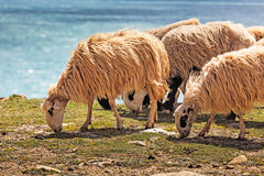 Sheep in a flock near the ocean Royalty Free Stock Image