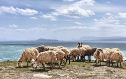 Sheep in a flock near the ocean Stock Images