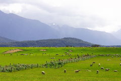 Sheep flock new zealand. Sheep flock new Zealand Stock Photos
