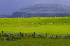 Sheep flock new zealand Royalty Free Stock Image