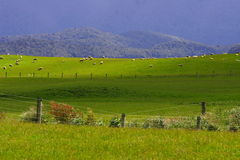 Sheep flock new zealand. Sunset Sheep flock new Zealand Stock Image