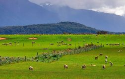 Sheep flock new zealand Stock Photography