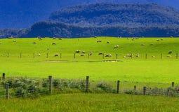 Sheep flock new zealand Stock Images