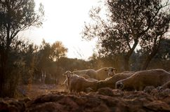 Sheep Flock in Olive Grove stock photo