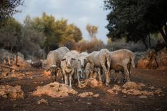 Sheep Flock in Olive Grove royalty free stock photos