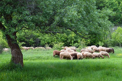 Sheep Flock on Pasture. Late spring. Green meadow with big tree. Large sheep flock on pasture Stock Photo