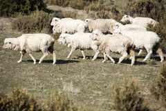 Sheep flock on patagonia grass background Stock Images