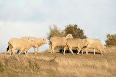 Sheep flock on patagonia grass background Royalty Free Stock Photo