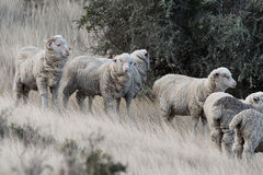 Sheep flock on patagonia grass background Stock Image