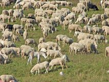 Sheep in the flock of sheep on a mountain meadow Royalty Free Stock Photography
