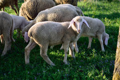 Sheep flock Royalty Free Stock Photography