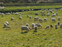 Sheep flock with shepherd Royalty Free Stock Photography